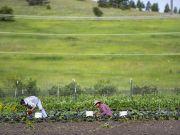 UM peas farm