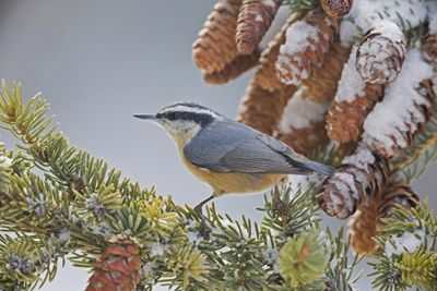 The red-breasted nuthatch sits in a tree