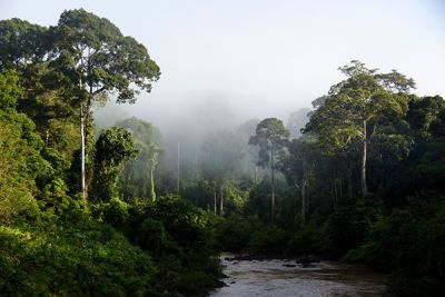 A Borneo rainforest with trees, a river and mist