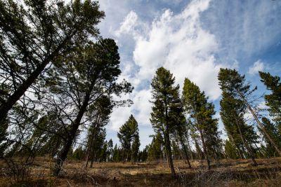 Pine trees grow toward the sky on UM's Bandy Ranch