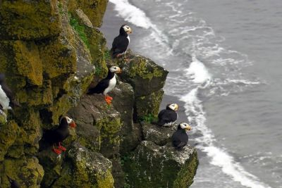 Puffin seabirds look over the ocean shoreline.