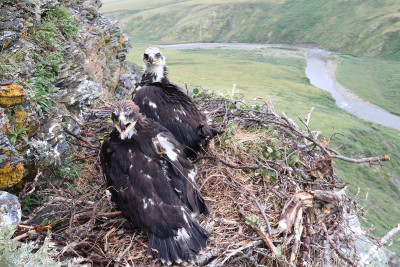 Two young golden eagles sit in a nest on a cliff edge - one in the foreground has its beak open and a tiny transmitter on it