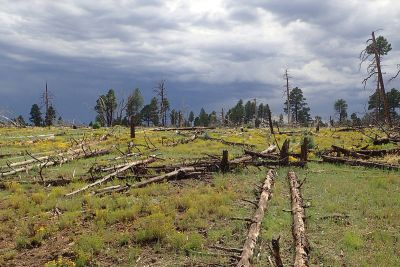 A picture of dead and living ponderosa pine and juniper trees in an Arizona forest.
