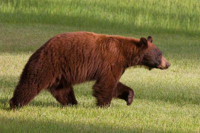 Photo of a black bear in a field