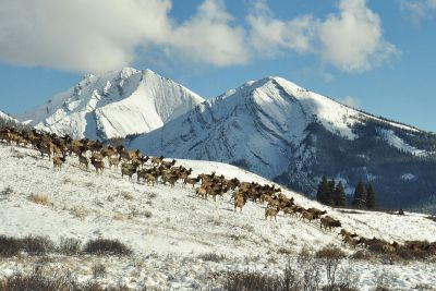 Photo of elk migration