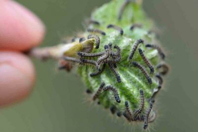 An closeup image of a hand pulling a leaf with caterpillars crawling on it