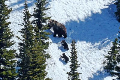 Photo of grizzly bear and cubs