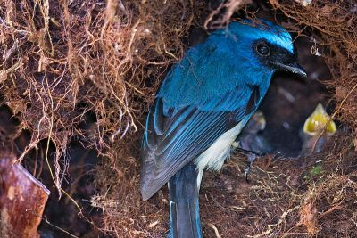 An indigo flycatcher visits its nest in Malaysia.